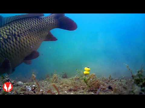 Podvodné zábery kaprov
