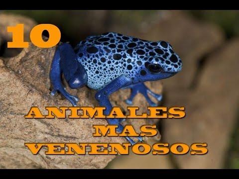 10 ANIMALES mas VENENOSOS del MUNDO