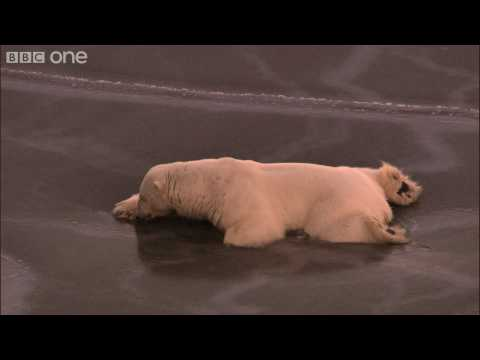 HD: Polar Bear on Thin Ice - Nature's Great Events: The Great Melt - BBC One, For polar bears, the summer melt of Arctic ice is the toughest time of year...