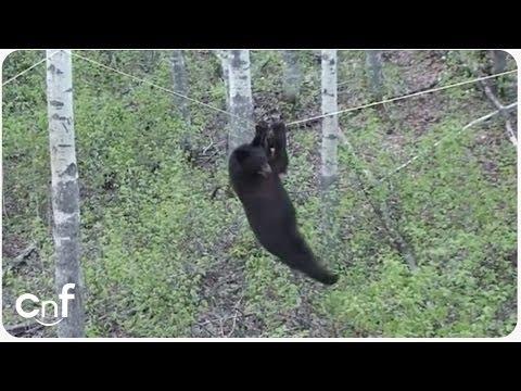 Medvěd horolezec... :-D