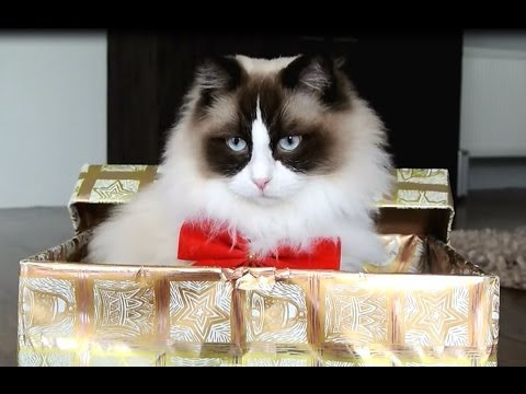 Cutest Christmas Cat (compilation)