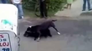 Pitbull Se Escapa Y Mata A Un Perro Pitbull Escapes And