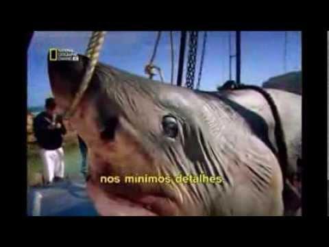 maior tubarão do mundo  02/06/2013