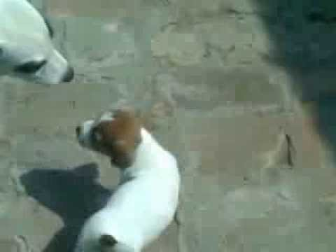 JRT PUPPIES (Zlokolica Jack Russell terijeri) 5 week old!
