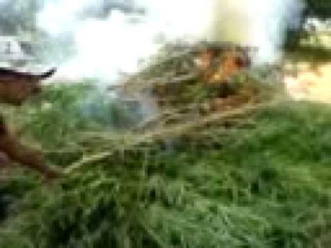 CIOSAC Sertão!!!!! queimando roça de maconha.mp4