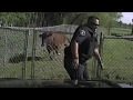 Charging cow nearly clobbers cop