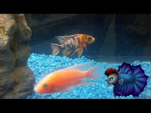 How To Breed African Peacock Cichlids.