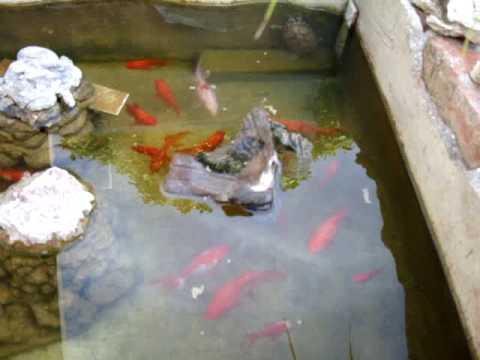 Mi estanque de peces y tortugas youtube - Estanques para tortugas ...