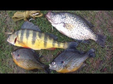 Bait fishing 46 panfish slam of jumbo perch crappie for Yellow perch fishing secrets