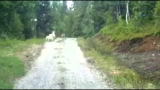 Koyun Kurdu Kovaladı
