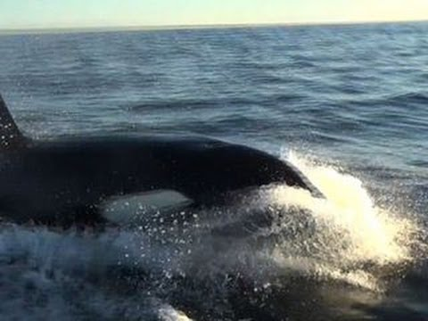 Whales make a comeback in California