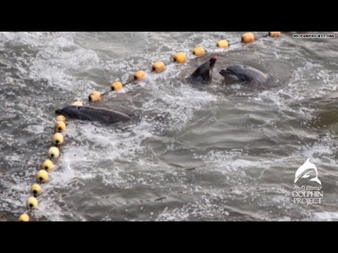 The dolphin hunt in Taiji continues