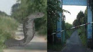 Chuyện lạ khó tin - Ổ trứng rắn khổng lồ và cặp hổ mây khủng nơi rừng U Minh Hạ