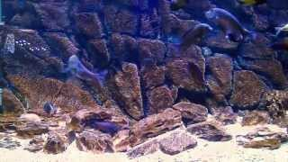 BLUE LUXURY AQUARIUM - Tropheus Tank Mix 2013