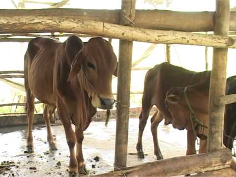 07 2013  Mô hình nuôi bò thịt bán chăn thả