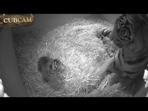 CUB CAM: Tiger cubs open their eyes!