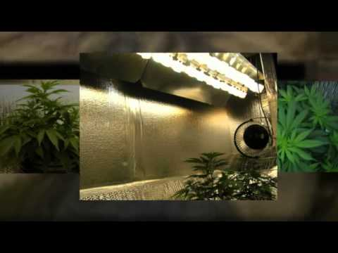 Amazing! CFL Grow Lights! How to Flower Cannabis!