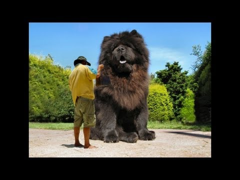 Biggest House Cat In The World 2014 largest domestic dog in the world