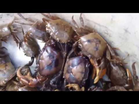 Fishing - How to make Catfish Bait(16) - Hướng Dẫn Mồi câu Cá Trê