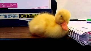 Baby Duck Can't Stay Awake
