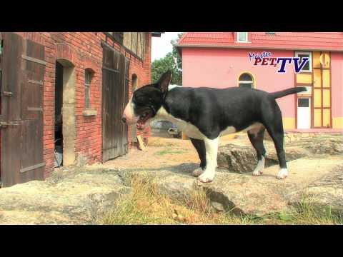 Video zu Bullterrier