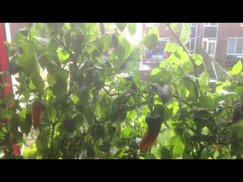 New  GIGANTIC HOT PEPPER - by Cross-Fertilization -  Baptized into FAYAPI - 2014
