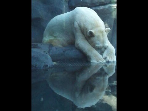 Polar Bear Arturo Struggles to Cope with 40C Heat in Argentine zoo