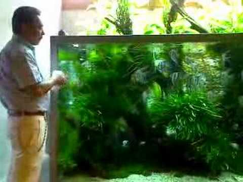 Mr amano feeds his altum angel youtube for Google fish tank mrdoob