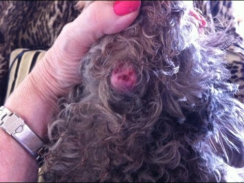 How to remove wart/cyst on dog(Pt 1)