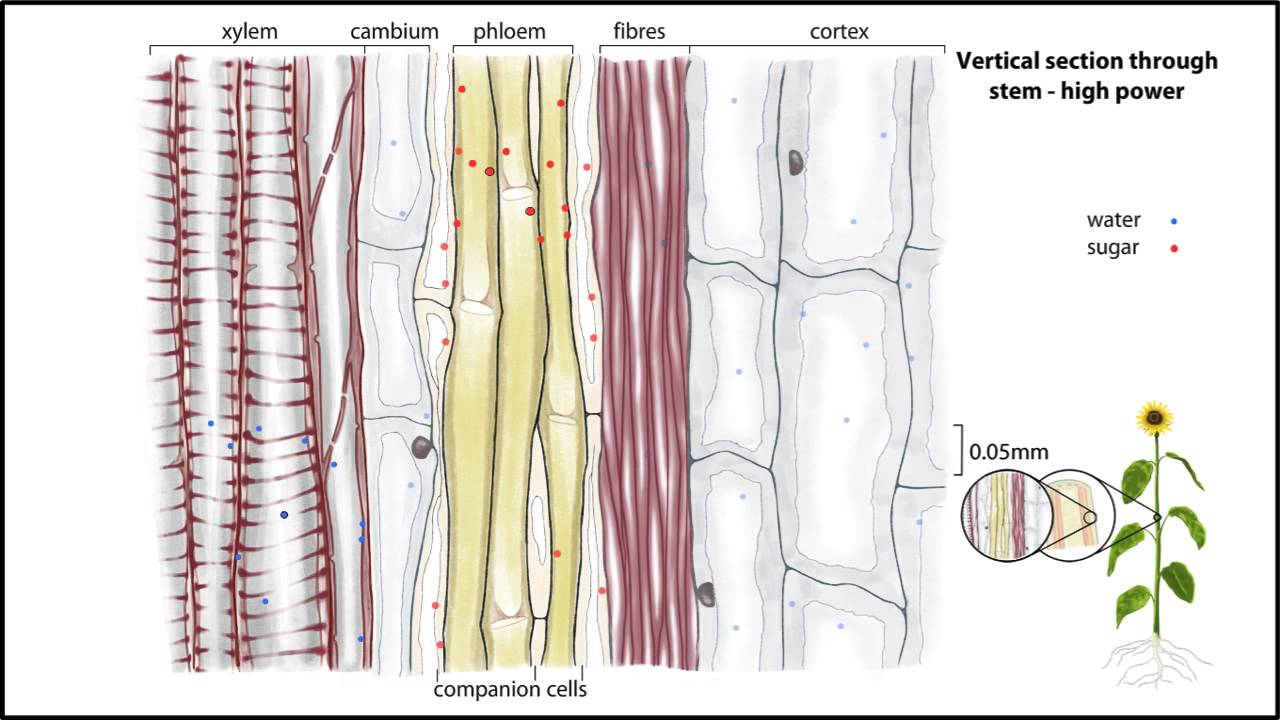 Displaying 16> Images For - Xylem And Phloem In Plants... Xylem And Phloem In Plants