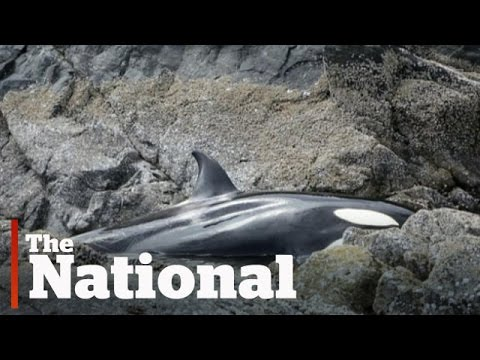 Stranded orca saved by volunteers