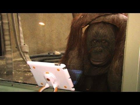 Orangutani vole ajped