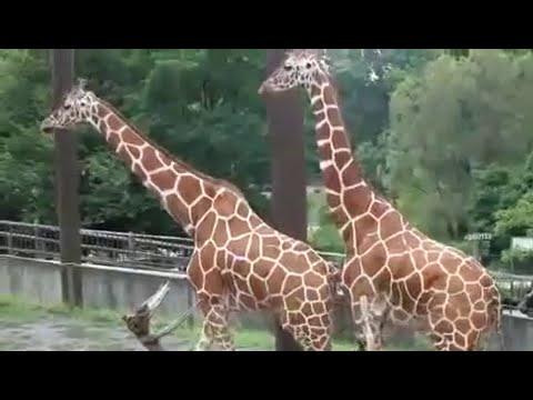 Funny Animals video   Giraffe at Zoo Breeding & Mating Video Scene   Funny Animals Life
