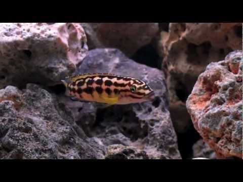 Neolamprologus Brichardi y Julidochromis Marlieri proteccion de alivines - Acuario 200l.mov