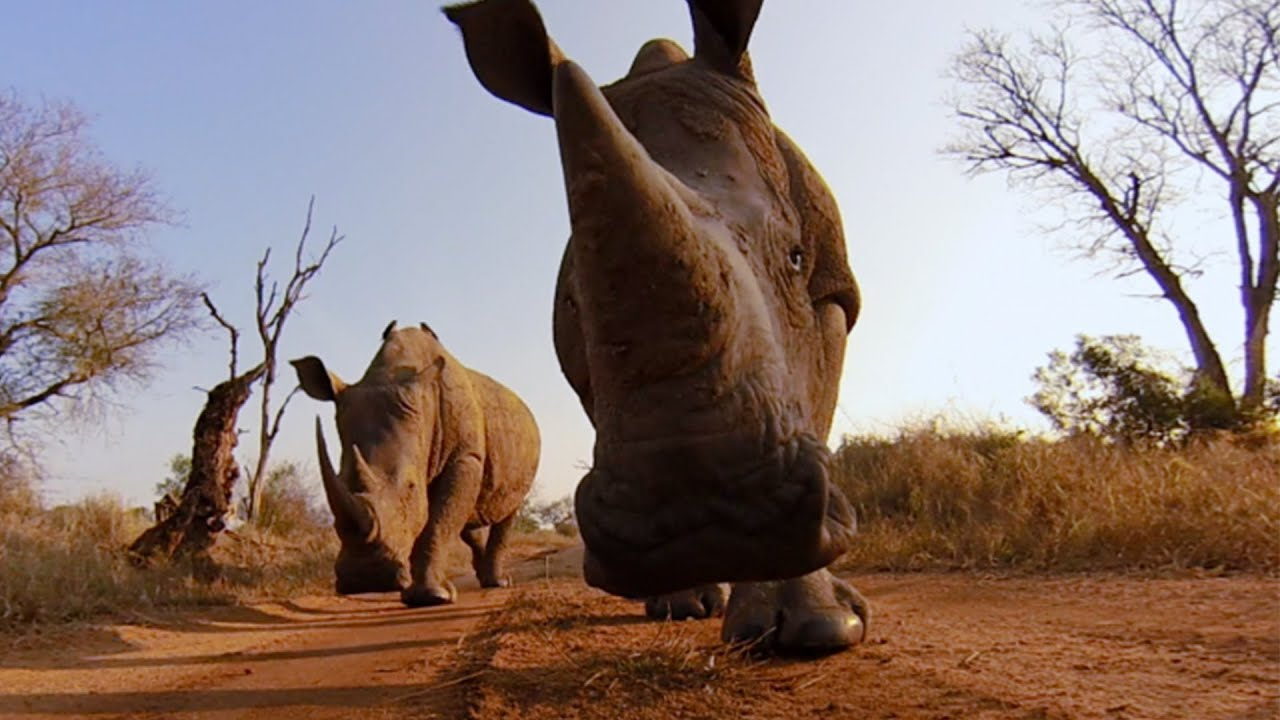 Le baiser du rhinocéros