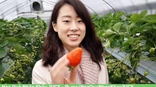 Dâu tây Hàn Quốc trồng thuỷ canh trong nhà kính