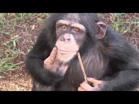 Laboratory Chimp is Released to Sanctuary
