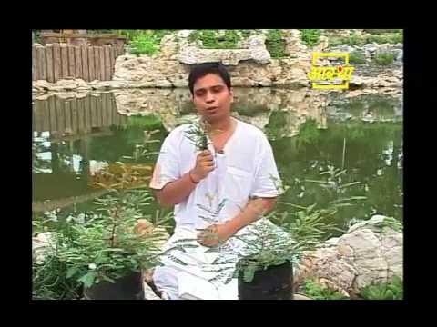 Ayurvedic use Country Gooseberry (Bhumi Amala)
