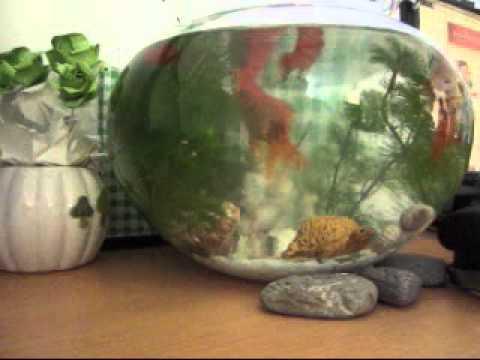 Cá vàng bơi trong bể nước