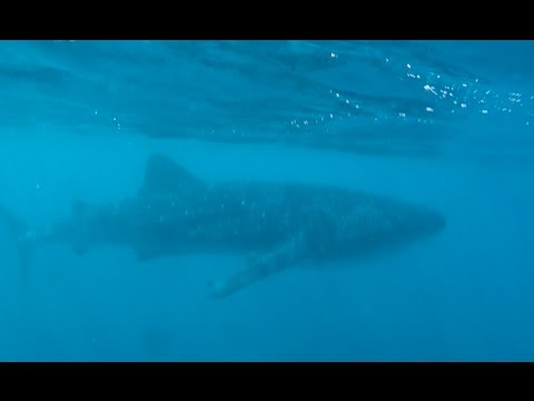 Diving with the world's largest fish at Ningaloo Reef - Whale Shark