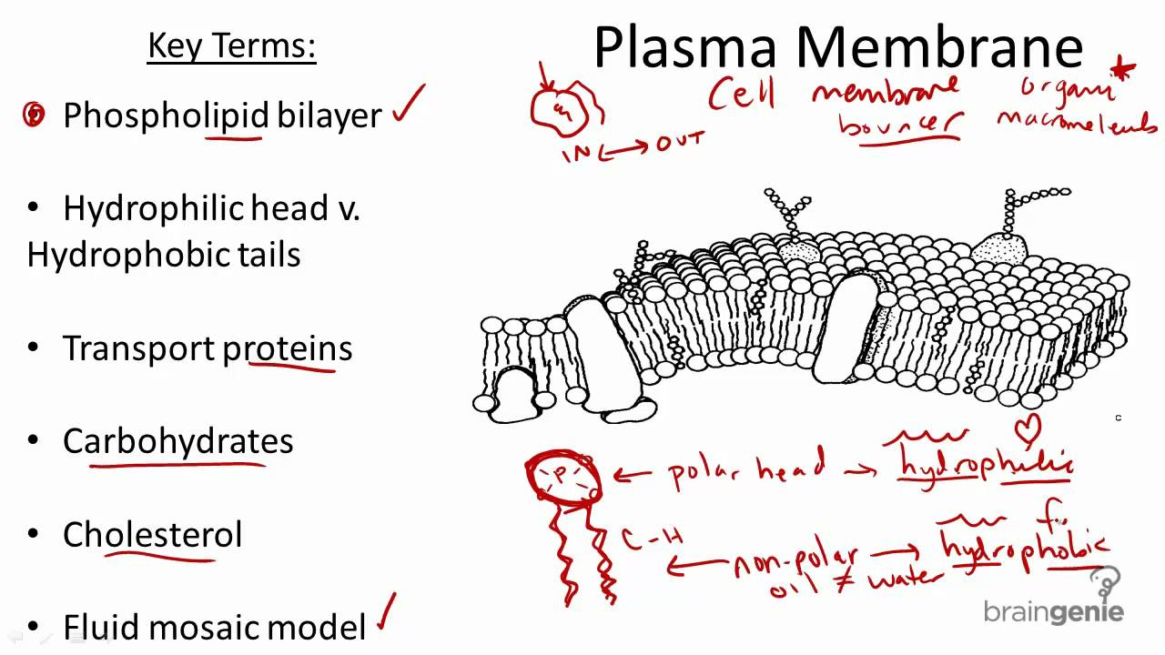 2 1 5 Plasma Membrane Structure And Function