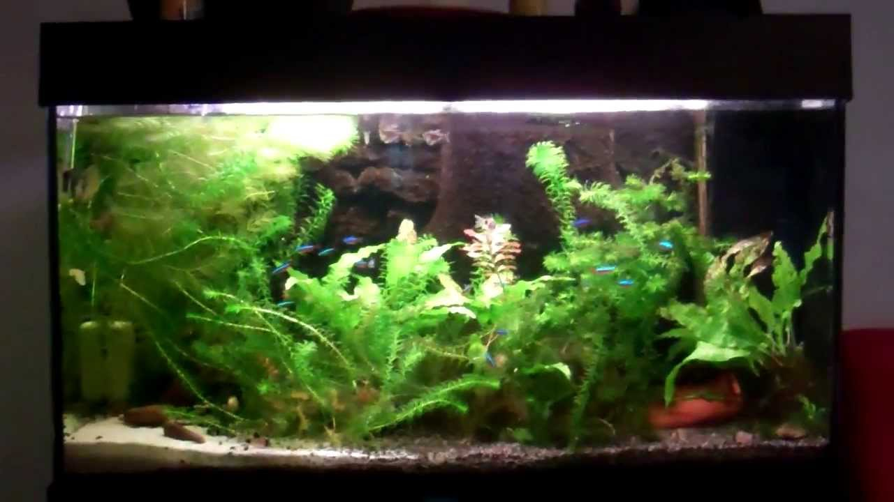 Freshwater fish 30 gallon tank 30 gallon planted Thirty gallon fish tank