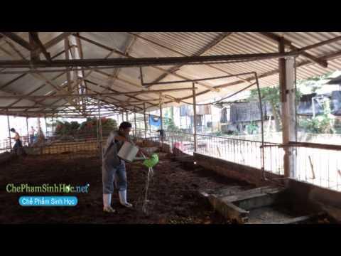 Hướng dẫn làm đệm lót mô hình trại heo giống cấp 1 tphcm [www.chephamsinhhoc.net]