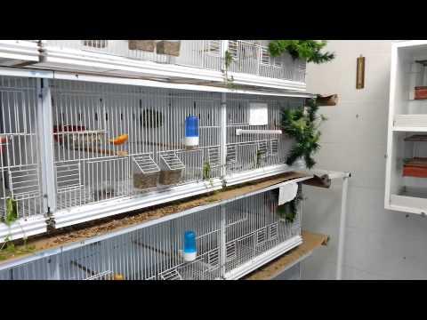 Priprema i parenje 02.04.2013 chardonneret,goldfinches,el jilguero