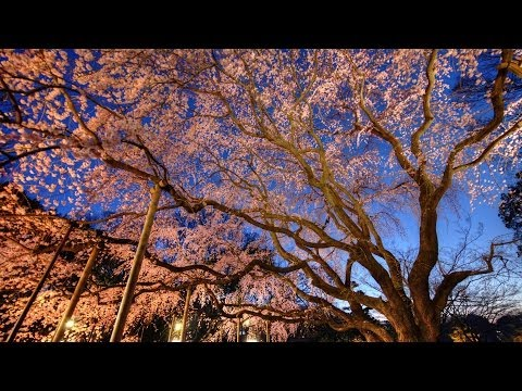 4K camcorder SONY PXW-Z100 RIKUGIEN CHERRY TREE in lights from TOKYO JAPAN (XAVC 600Mbps)