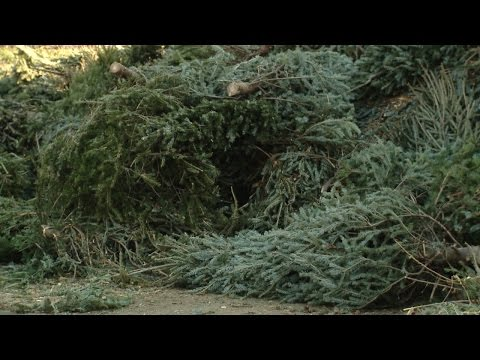 Christmas Tree Recycling: 2015