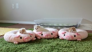 Three Piglet Kittens