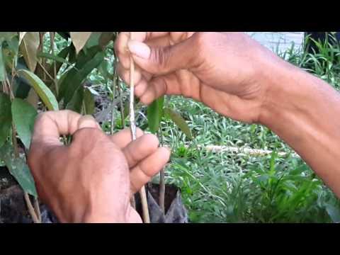 Okulasi Durian