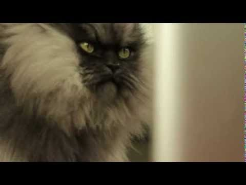 Thumbnail image for 'Meet Colonel Meow, the world's angriest cat'