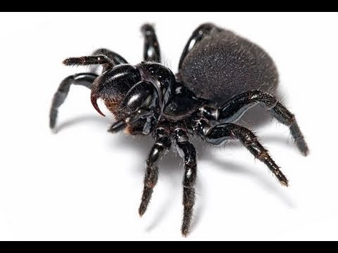how to kill a funnel web spider